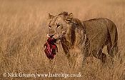 Lion with meat, Panthera leo, Murchison Falls, Uganda