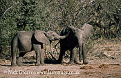 African Elephant (Loxodonta africana), twin calves playing, Hwange National Park, Zimbabwe