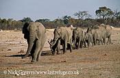 African Elephant (Loxodonta africana), herd travelling, Hwange National Park, Zimbabwe