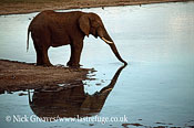 African Elephant (Loxodonta africana), drinking with reflection, Hwange National Park, Zimbabwe