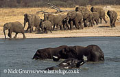 African Elephant (Loxodonta africana), herd arriving at Pan and some in water, Hwange National Park, Zimbabwe