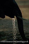 African Elephant (Loxodonta africana), drinking and dribbing, silhouette, Hwange National Park, Zimbabwe