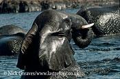 African Elephant (Loxodonta africana), bathing, Hwange National Park, Zimbabwe