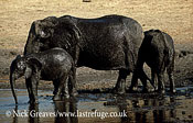 African Elephant (Loxodonta africana), shiny mud bath, cow and two calves, Hwange National Park, Zimbabwe