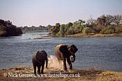 African Elephant (Loxodonta africana), dusting by river, Zambezi National Park, Zimbabwe