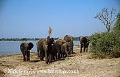African Elephant (Loxodonta africana), herd by river, Chobe National Park, Botswana