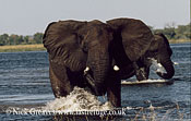 African Elephant (Loxodonta africana), bull mock charge in River, Chobe National Park, Botswana
