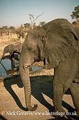 African Elephant (Loxodonta africana), with weeping temporal gland, Hwange National Park, Zimbabwe