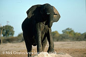 African Elephant (Loxodonta africana), immature bull on ant hill, Hwange National Park, Zimbabwe
