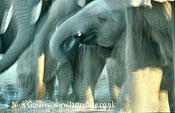 African Elephant (Loxodonta africana), drinking, Hwange National Park, Zimbabwe