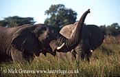 African Elephant (Loxodonta africana), bull scenting, Moremi Game Reserve, Okavango Delta, Botswana.