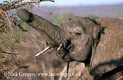 African Elephant (Loxodonta africana), feeding on Acacia, Zambezi National Park, Zimbabwe