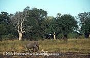 African Elephant (Loxodonta africana), mourning at skeleton, Moremi Game Reserve, Okavango Delta, Botswana.