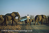 African Elephant (Loxodonta africana), line of herd with calf croccing road with tourists, Zambezi National Park, Zimbabwe