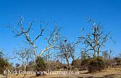 African Elephant (Loxodonta africana), habitat damage of Riverine Forest, Chobe National Park, Botswana