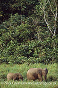 African Forest Elephant (Loxodonta africana cyclotis), cow and calf, Ivindo National Park, Gabon