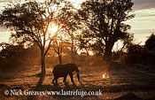 African Elephant (Loxodonta africana), bull at sunset, Hwange National Park, Zimbabwe
