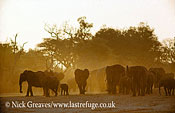 African Elephant (Loxodonta africana), herd emerging from acacia forest at sunset, Hwange National Park, Zimbabwe