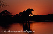 African Elephant (Loxodonta africana), bull at Makololo Pan, sunset with reflections in river, Hwange National Park, Zimbabwe