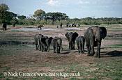 African Elephant (Loxodonta africana), breed herd, Hwange National Park, Zimbabwe