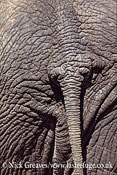 African Elephant (Loxodonta africana), close up skin and tail, Hwange National Park, Zimbabwe