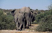 African Elephant (Loxodonta africana), herd leaving, Chobe National Park, Botswana
