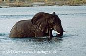 African Elephant (Loxodonta africana), crossing Zambezi, Zambezi National Park, Zimbabwe