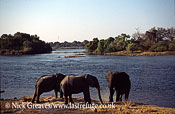 African Elephant (Loxodonta africana), on bank of Zambezi Island, Zambezi National Park, Zimbabwe
