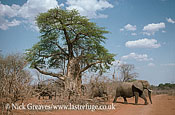 African Elephant (Loxodonta africana), breed herd and Baobab, Zambezi National Park, Zimbabwe