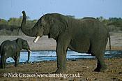 African Elephant (Loxodonta africana), scenting, Hwange National Park, Zimbabwe