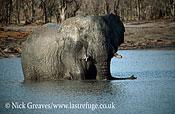 African Elephant (Loxodonta africana), big bull in Pan, Hwange National Park, Zimbabwe