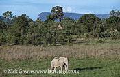 African Elephant (Loxodonta africana), bull in Manzibomvu Vlei, Chizarira National Park, Zimbabwe