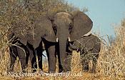 African Elephant (Loxodonta africana), cow with two calves, Chobe National Park, Botswana