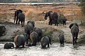 African Elephant (Loxodonta africana), herd crossing Chobe, Chobe National Park, Botswana