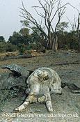 African Elephant (Loxodonta africana), skull with tusks, Chobe National Park, Botswana