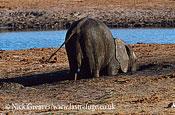 African Elephant (Loxodonta africana), digging salts, Hwange National Park, Zimbabwe