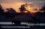 African Elephant (Loxodonta africana), sunset on Kennedy Pan, Hwange National Park, Zimbabwe