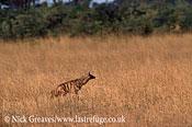 Aardwolf, Proteles cristata, Hwange National Park, Zimbabwe
