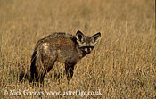 Bat eared fox, Otocyon megalotis, Nxai Pan Game Reserve, Botswana