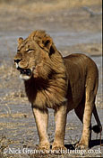 Lion, Panthera leo, Moremi Game Reserve National Park, Botswana