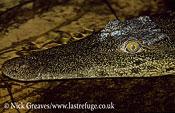 Nile Crocodile, Crocodylus niloticus, Moremi Game Reserve National Park, Botswana