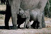 African Elephant (Loxodonta africana), calf suckling, Hwange National Park, Zimbabwe