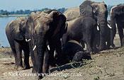 African Elephant (Loxodonta africana), on bank of Chobe, Hwange National Park, Zimbabwe
