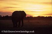 African Elephant (Loxodonta africana), bull at dusk, Savuti , Chobe National Park, Botswana