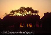 African Elephant (Loxodonta africana), bull at dusk, Pan, Savuti , Chobe National Park, Botswana