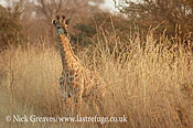 Imm Giraffe, Giraffa camelopardalis, Hwange National Park, Zimbabwe