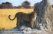 Female Leopard, Panthera pardus, Moremi Game Reserve National Park, Botswana