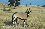 Gemsbok or Oryx, Oryx gazella, Central Kalahari National Park, Botswana