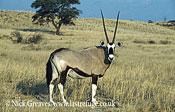 Gemsbok or Oryx, Oryx gazella, Central Kalahari National Park, Botswana