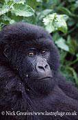 Mountain Gorilla Juvenile, Gorilla beringei beringei, Parc National des Volcans, Rwanda